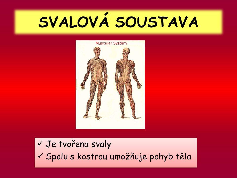 SVALOVÁ SOUSTAVA Je tvořena svaly Spolu s kostrou umožňuje pohyb těla