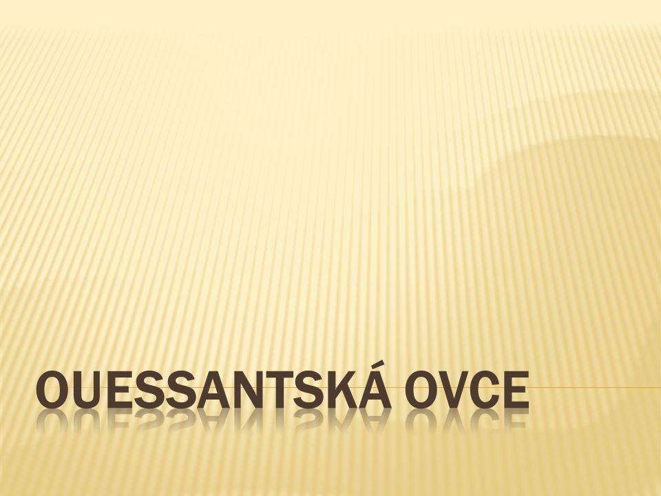 OUESSANTSKÁ OVCE