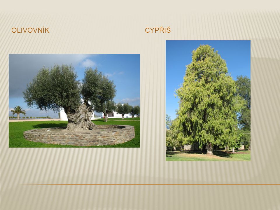 olivovník cypřiš