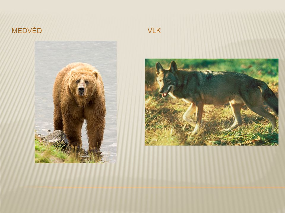 medvěd vlk