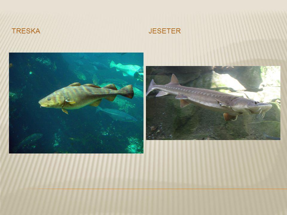 treska jeseter