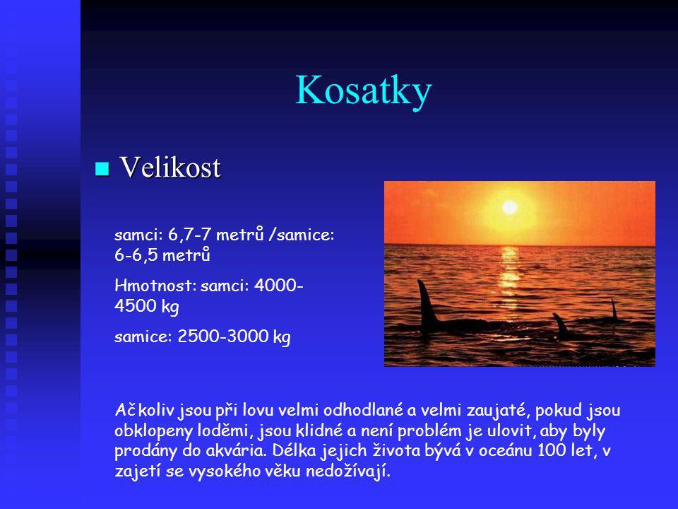 Kosatky Velikost samci: 6,7-7 metrů /samice: 6-6,5 metrů