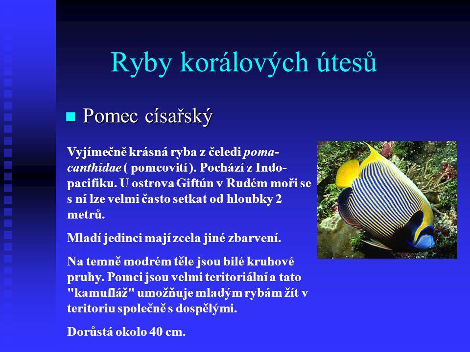 Ryby korálových útesů Pomec císařský