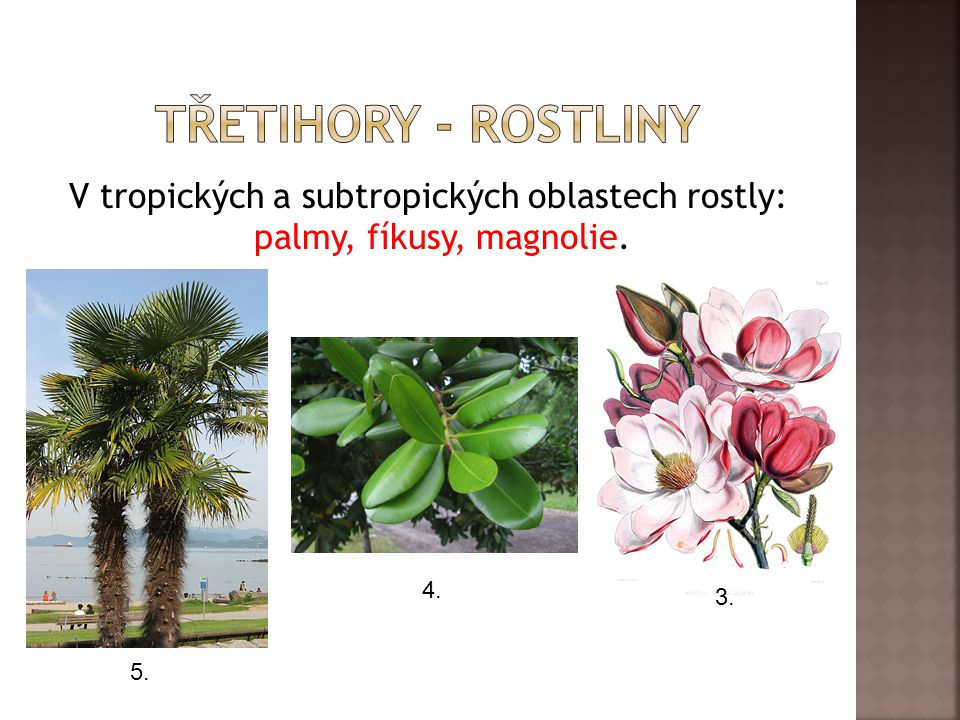Třetihory - rostliny V tropických a subtropických oblastech rostly: palmy, fíkusy, magnolie. 4. 3.