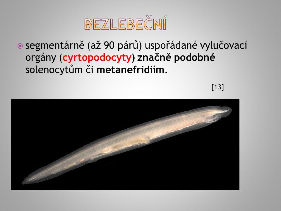 bezlebečnÍ segmentárně (až 90 párů) uspořádané vylučovací orgány (cyrtopodocyty) značně podobné solenocytům či metanefridiím.