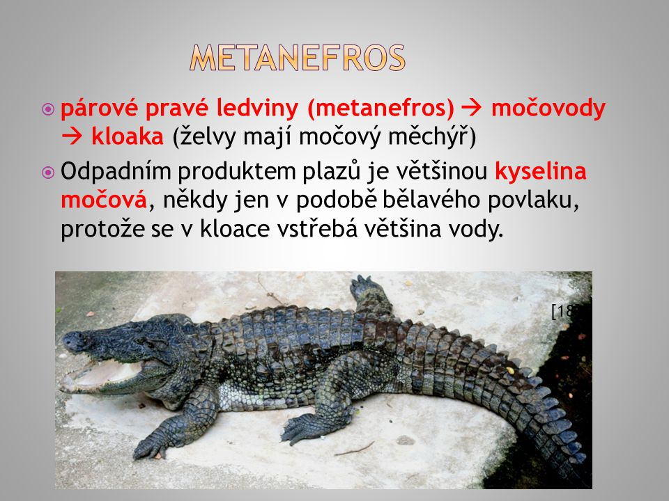 METANEFROS párové pravé ledviny (metanefros)  močovody  kloaka (želvy mají močový měchýř)