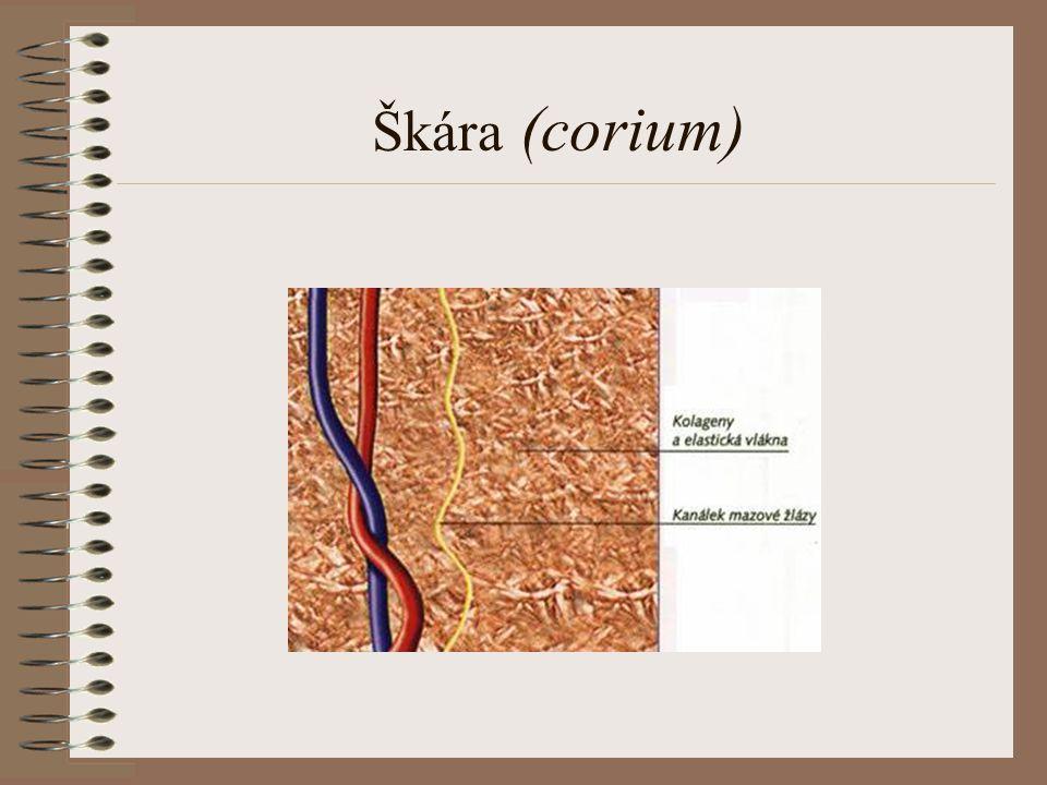 Škára (corium)