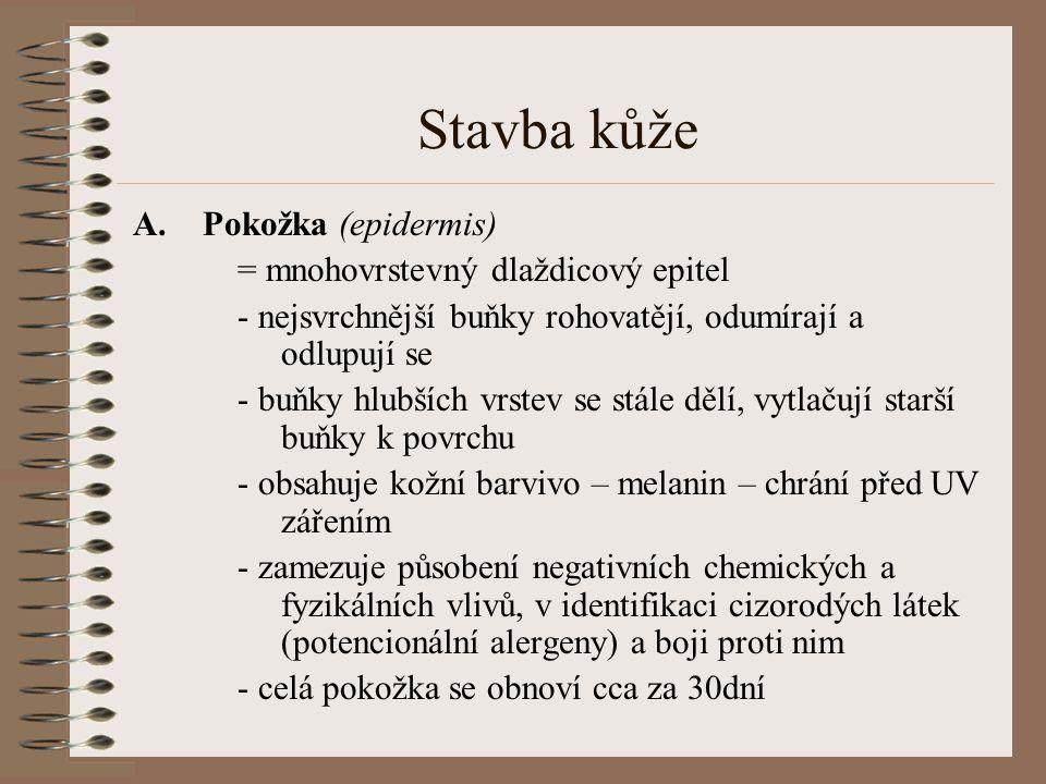 Stavba kůže Pokožka (epidermis) = mnohovrstevný dlaždicový epitel