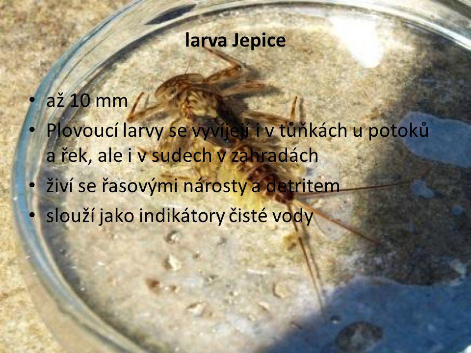 larva Jepice až 10 mm. Plovoucí larvy se vyvíjejí i v tůňkách u potoků a řek, ale i v sudech v zahradách.