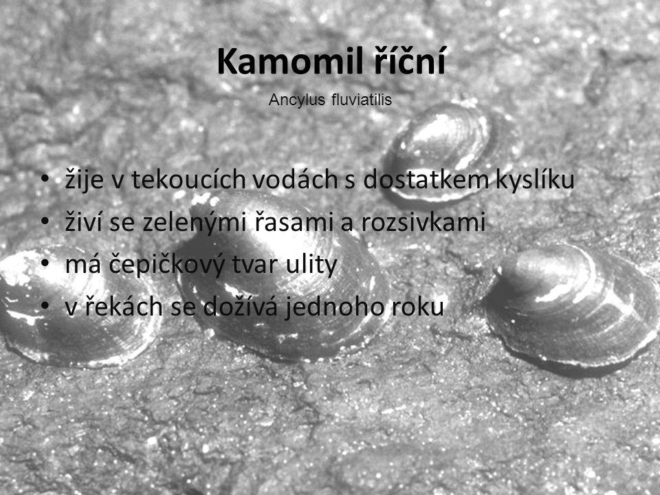 Kamomil říční žije v tekoucích vodách s dostatkem kyslíku