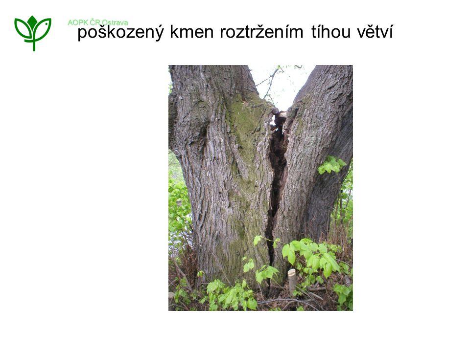 poškozený kmen roztržením tíhou větví