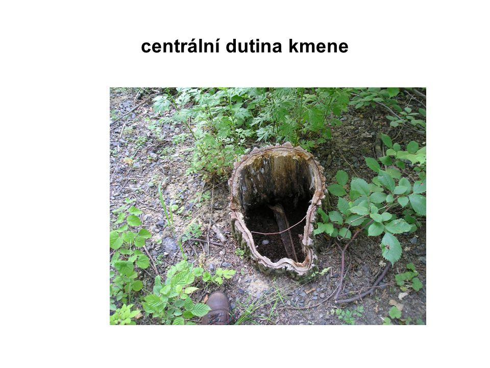 centrální dutina kmene