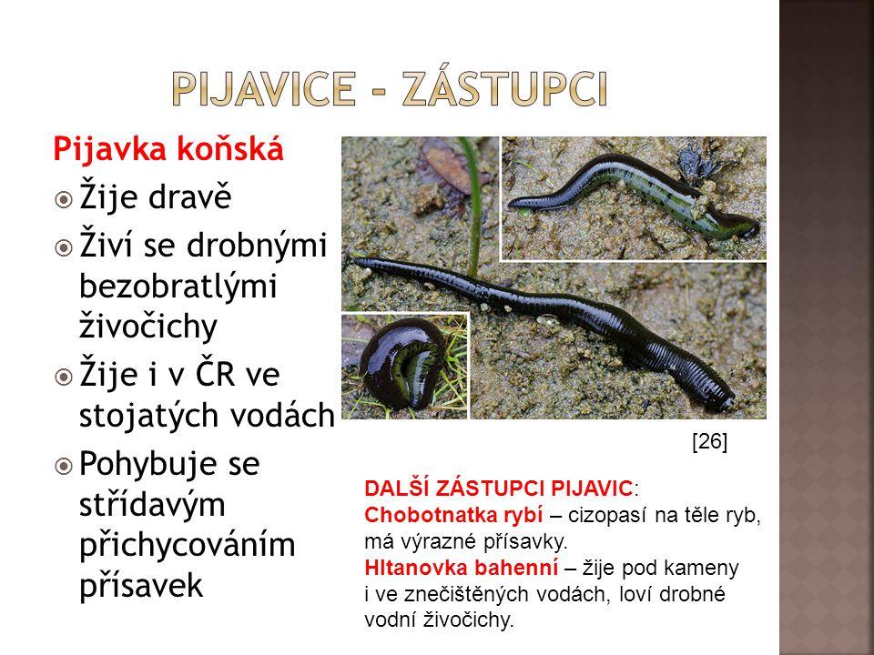 Pijavice - zástupci Pijavka koňská Žije dravě