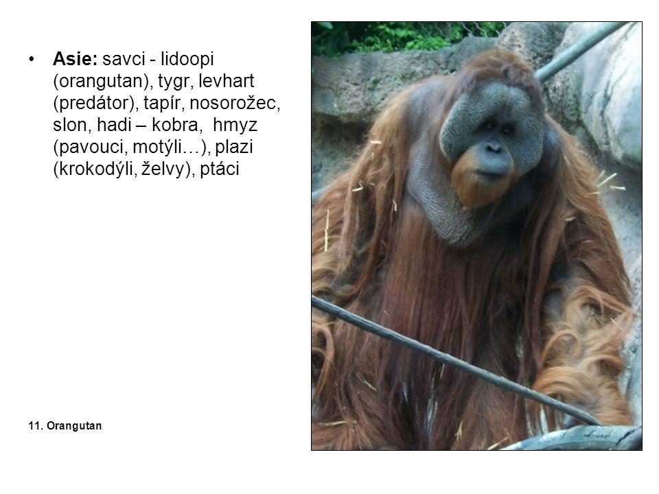 Asie: savci - lidoopi (orangutan), tygr, levhart (predátor), tapír, nosorožec, slon, hadi – kobra, hmyz (pavouci, motýli…), plazi (krokodýli, želvy), ptáci