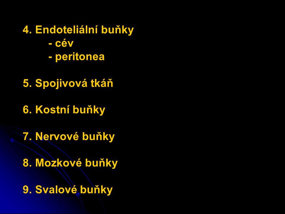 4. Endoteliální buňky - cév. - peritonea. 5. Spojivová tkáň. 6. Kostní buňky. 7. Nervové buňky.