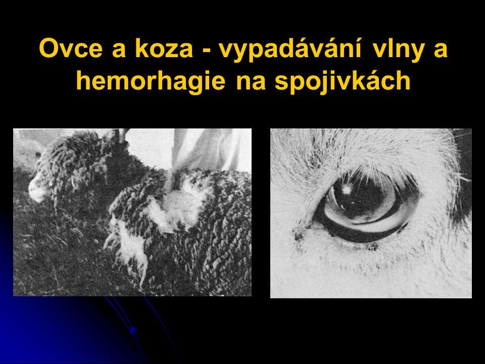 Ovce a koza - vypadávání vlny a hemorhagie na spojivkách