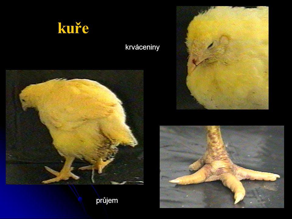 kuře krváceniny průjem
