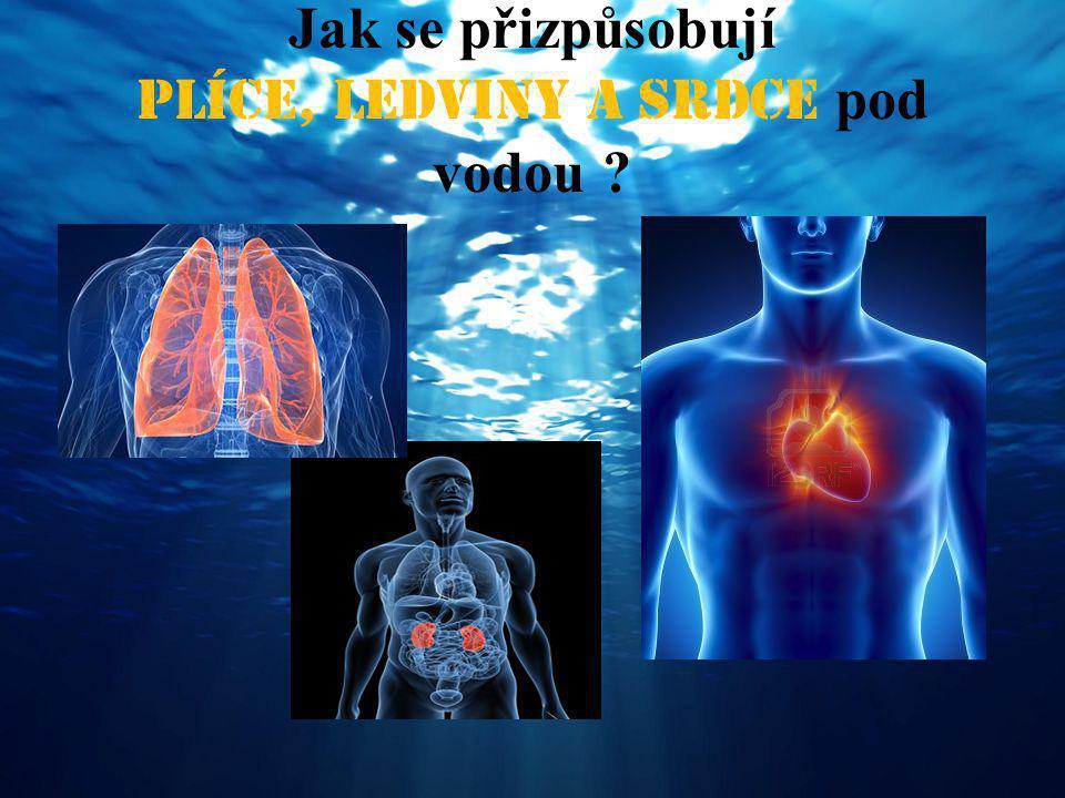Jak se přizpůsobují plíce, ledviny a srdce pod vodou