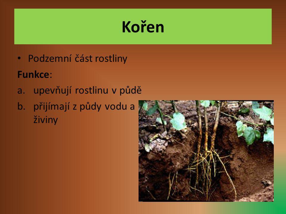 Kořen Podzemní část rostliny Funkce: upevňují rostlinu v půdě