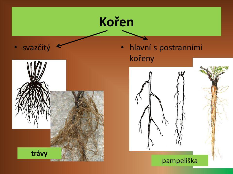 Kořen svazčitý hlavní s postranními kořeny trávy pampeliška