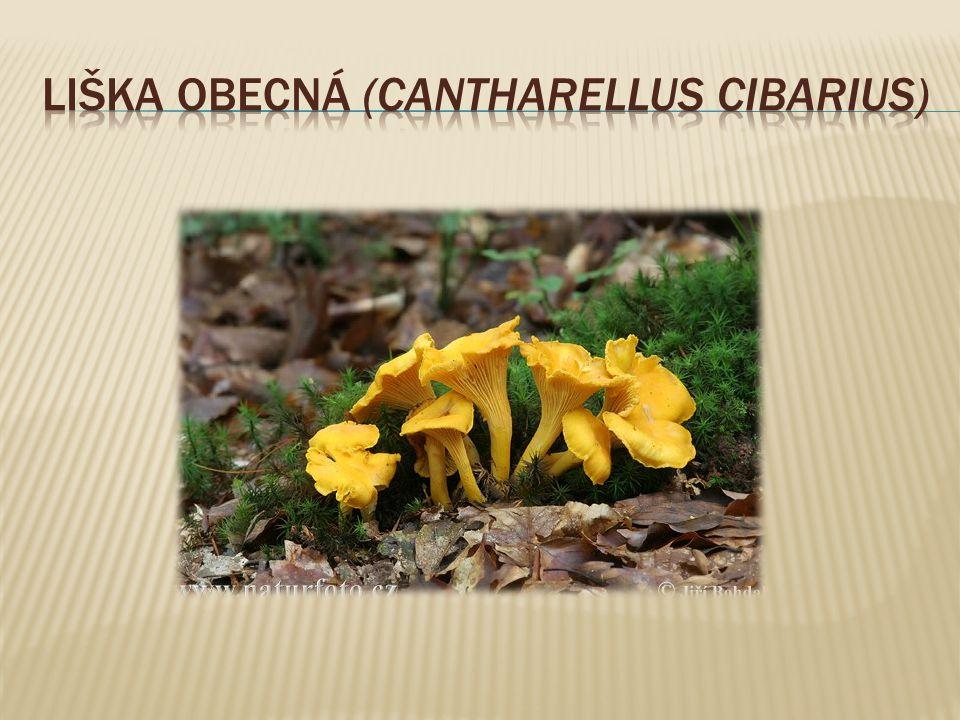 Liška obecná (Cantharellus cibarius)