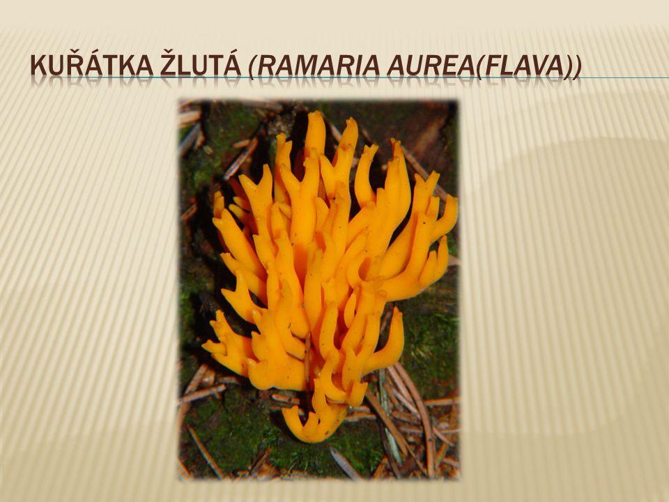 Kuřátka žlutá (Ramaria aurea(flava))
