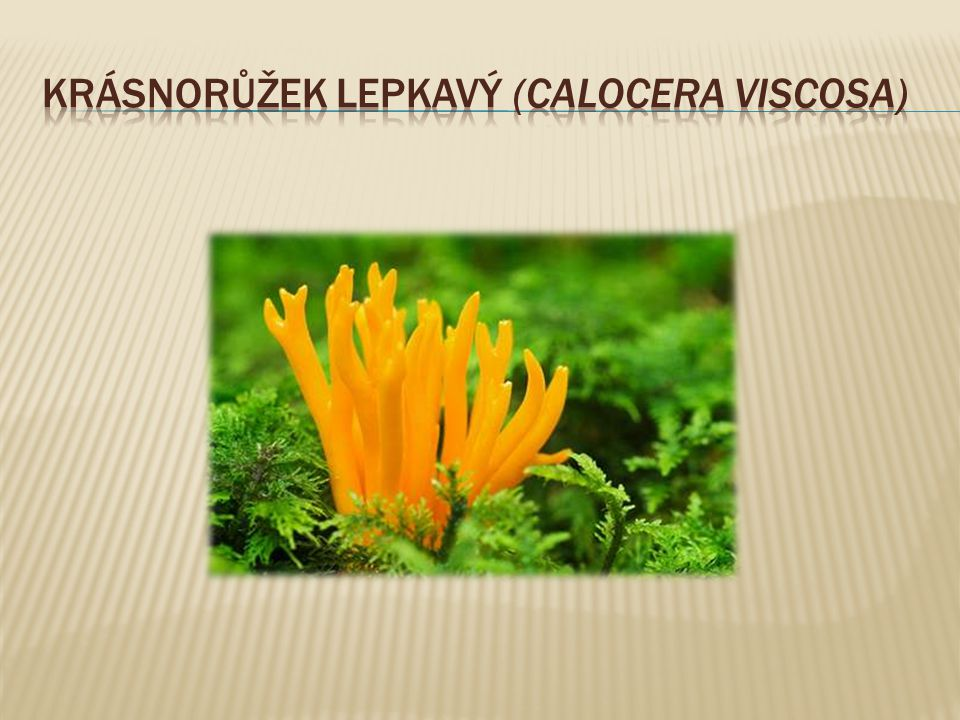 krásnorůžek lepkavý (CALOCERA VISCOSA)
