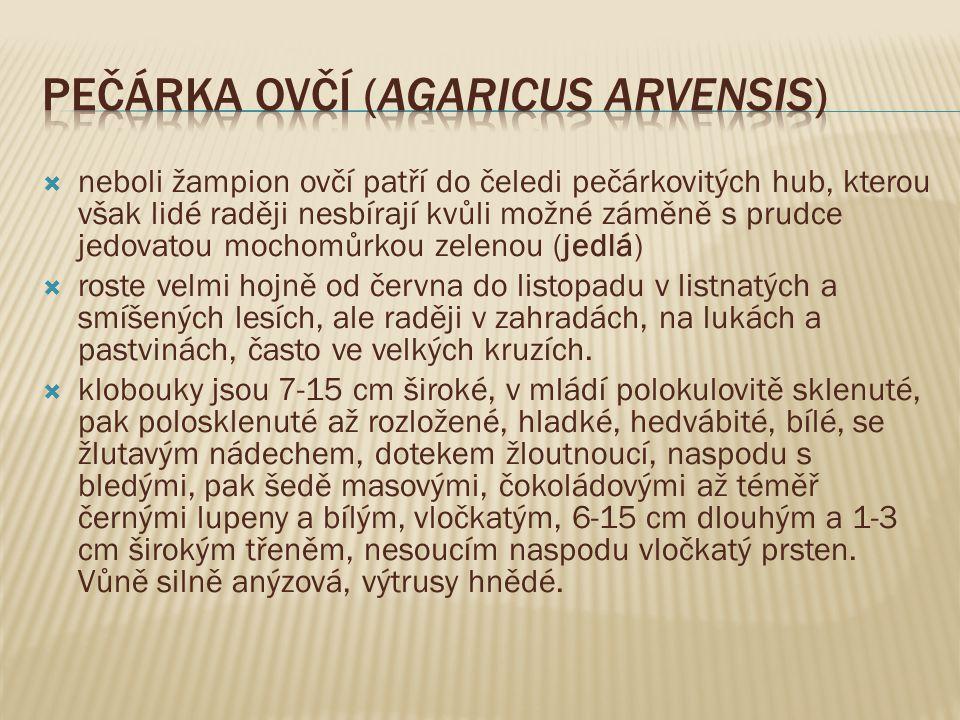 Pečárka ovčí (Agaricus arvensis)