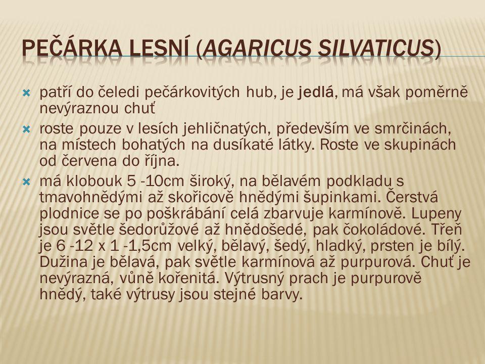 Pečárka lesní (agaricus silvaticus)