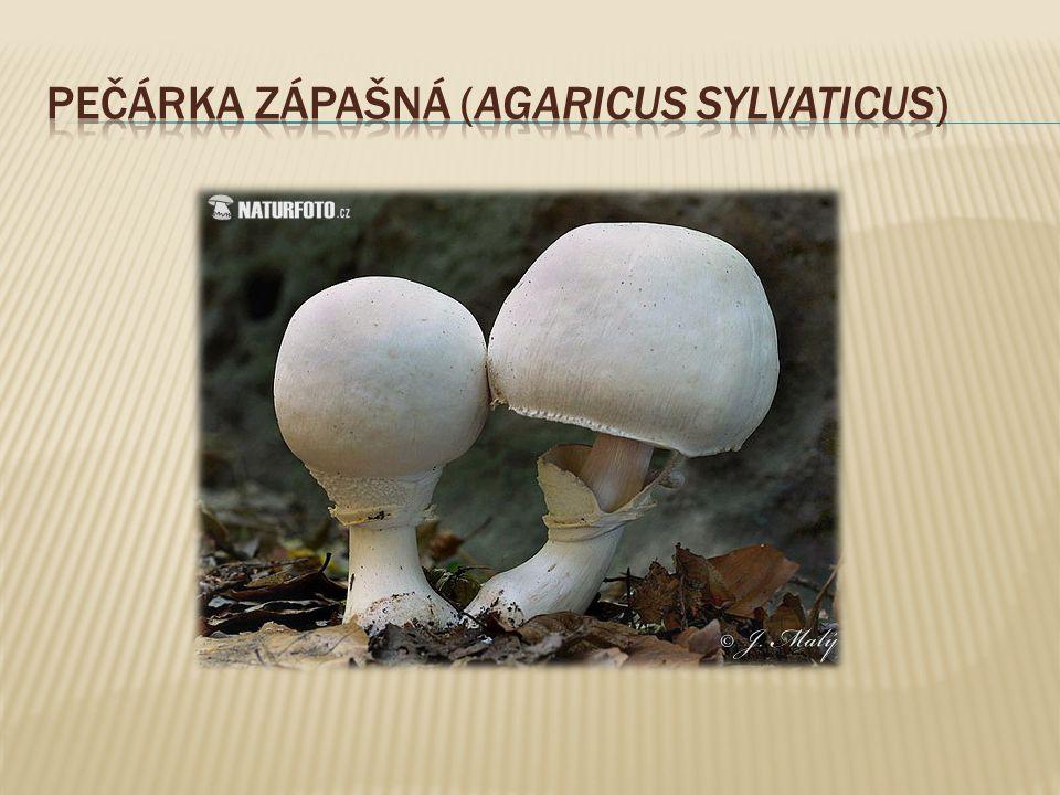 Pečárka zápašná (Agaricus sylvaticus)