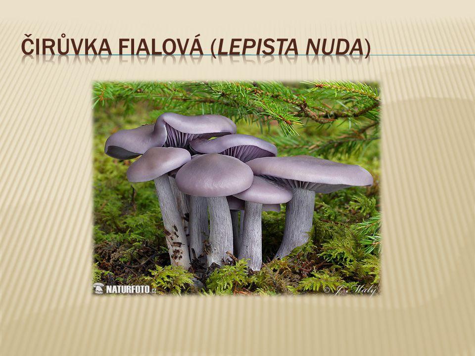 Čirůvka fialová (lepista nuda)