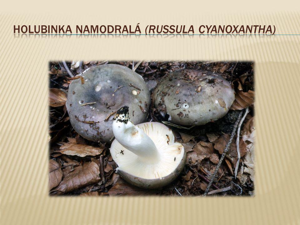 Holubinka namodralá (Russula cyanoxantha)