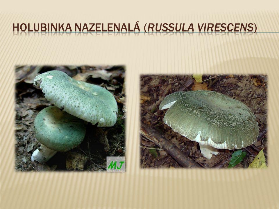 Holubinka nazelenalá (Russula virescens)
