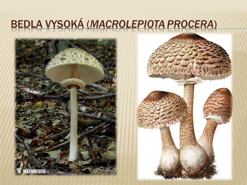 Bedla vysoká (Macrolepiota procera)
