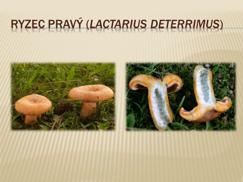 Ryzec pravý (Lactarius deterrimus)