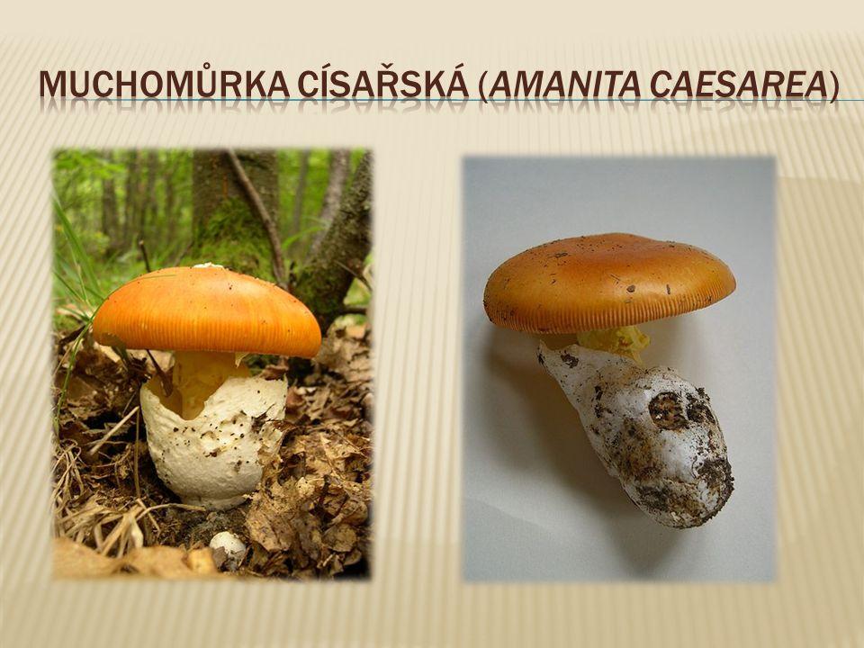 Muchomůrka císařská (Amanita caesarea)