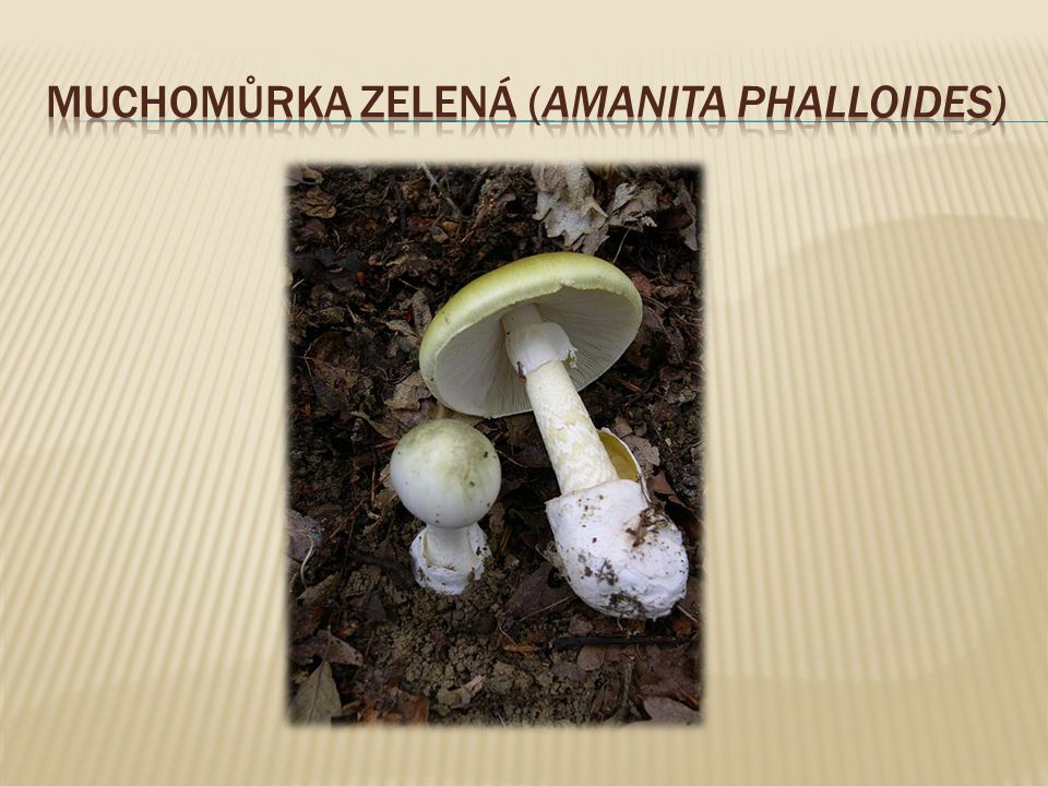 Muchomůrka zelená (Amanita phalloides)
