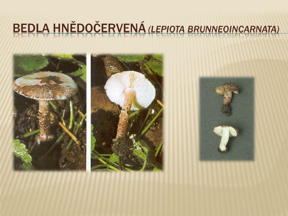 Bedla hnědočervená (Lepiota brunneoincarnata)