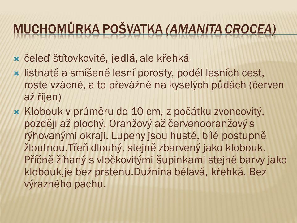 Muchomůrka pošvatka (Amanita crocea)