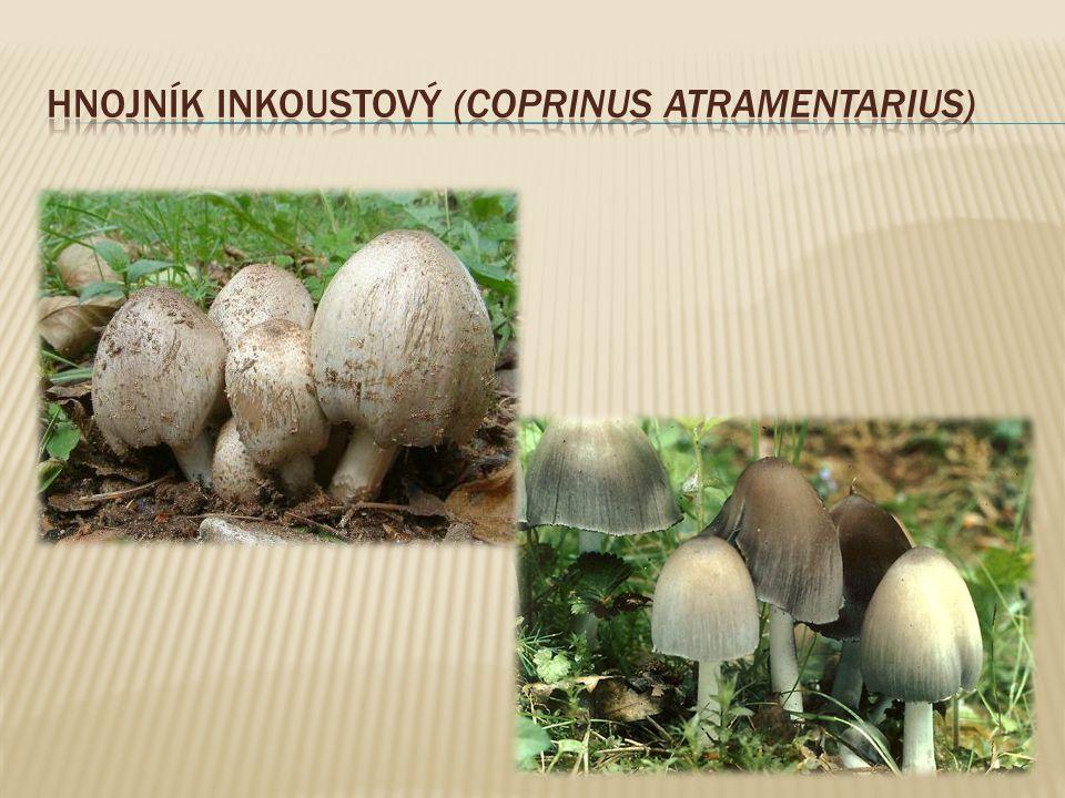 Hnojník inkoustový (Coprinus atramentarius)