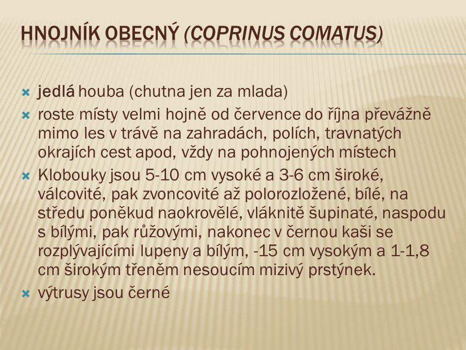 Hnojník obecný (Coprinus comatus)