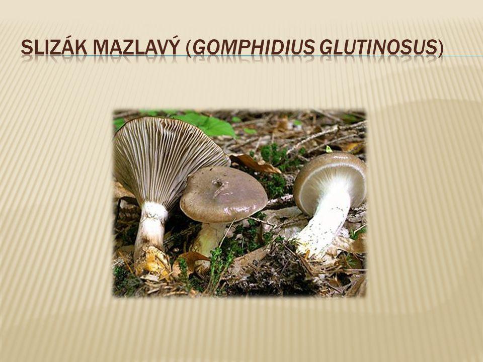 Slizák mazlavý (Gomphidius glutinosus)