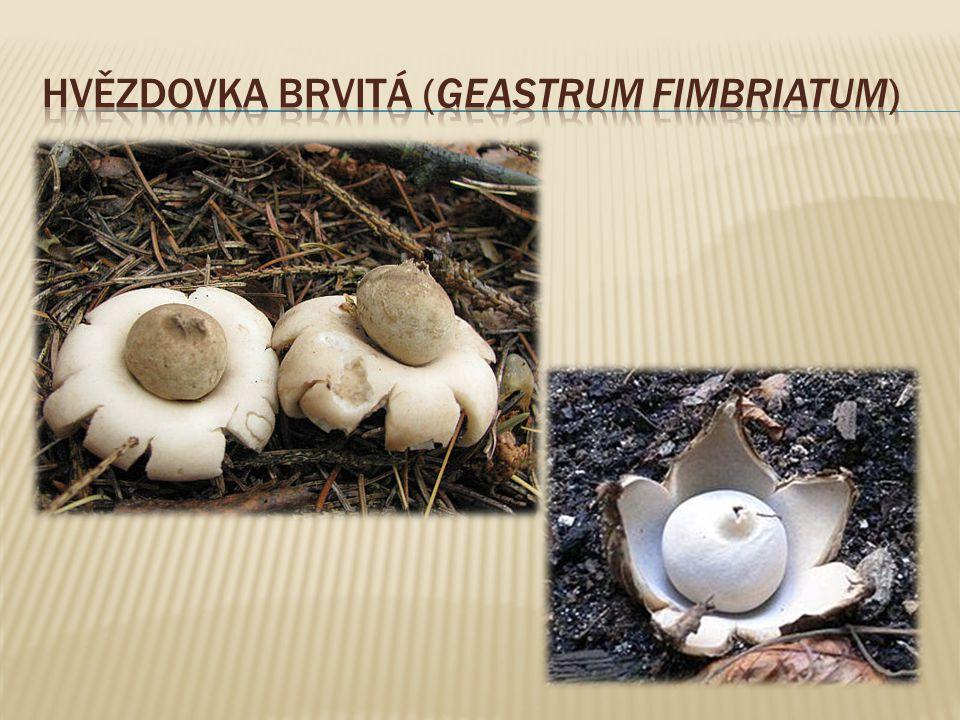 Hvězdovka brvitá (Geastrum fimbriatum)