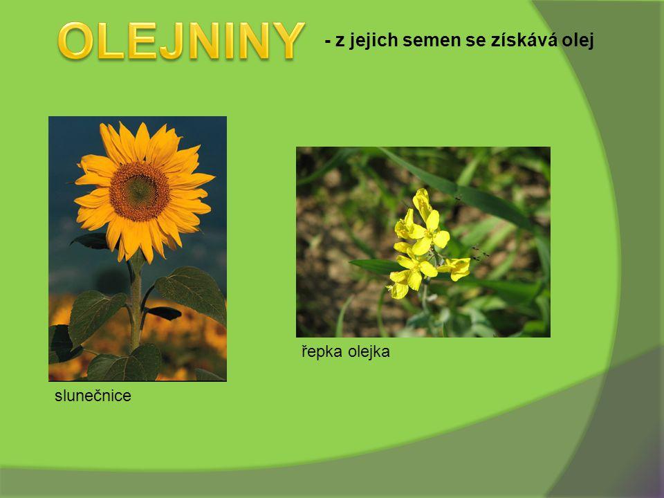 OLEJNINY - z jejich semen se získává olej řepka olejka slunečnice