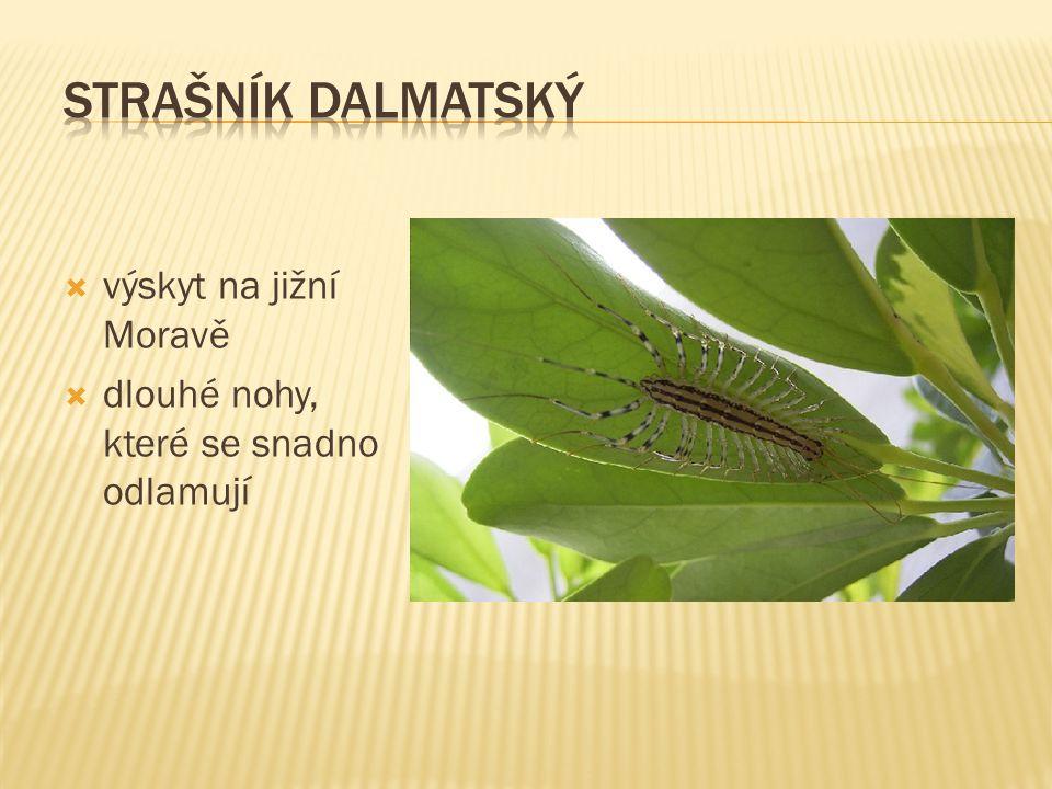 strašník dalmatský výskyt na jižní Moravě