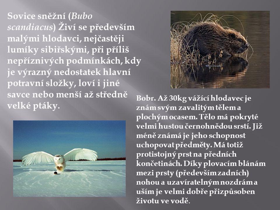 Sovice sněžní (Bubo scandiacus) Živí se především malými hlodavci, nejčastěji lumíky sibiřskými, při příliš nepříznivých podmínkách, kdy je výrazný nedostatek hlavní potravní složky, loví i jiné savce nebo menší až středně velké ptáky.
