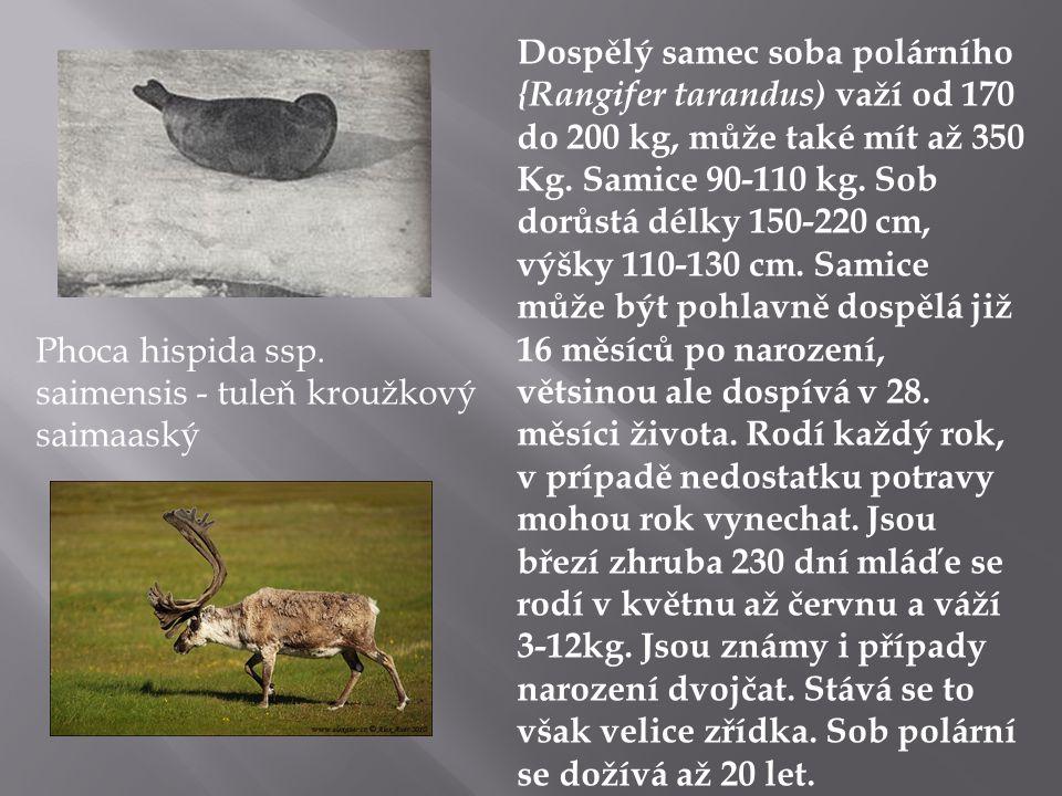 Dospělý samec soba polárního {Rangifer tarandus) važí od 170 do 200 kg, může také mít až 350 Kg. Samice 90-110 kg. Sob dorůstá délky 150-220 cm, výšky 110-130 cm. Samice může být pohlavně dospělá již 16 měsíců po narození, větsinou ale dospívá v 28. měsíci života. Rodí každý rok, v prípadě nedostatku potravy mohou rok vynechat. Jsou březí zhruba 230 dní mláďe se rodí v květnu až červnu a váží 3-12kg. Jsou známy i případy narození dvojčat. Stává se to však velice zřídka. Sob polární se dožívá až 20 let.