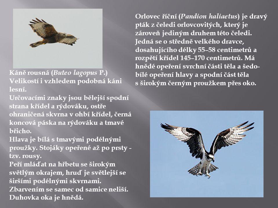 Orlovec říční (Pandion haliaetus) je dravý pták z čeledi orlovcovitých, který je zároveň jediným druhem této čeledi. Jedná se o středně velkého dravce, dosahujícího délky 55–58 centimetrů a rozpětí křídel 145–170 centimetrů. Má hnědé opeření svrchní části těla a šedo-bílé opeření hlavy a spodní část těla s širokým černým proužkem přes oko.