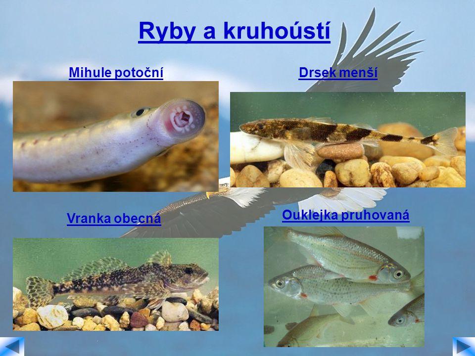 Ryby a kruhoústí Mihule potoční Drsek menší Ouklejka pruhovaná