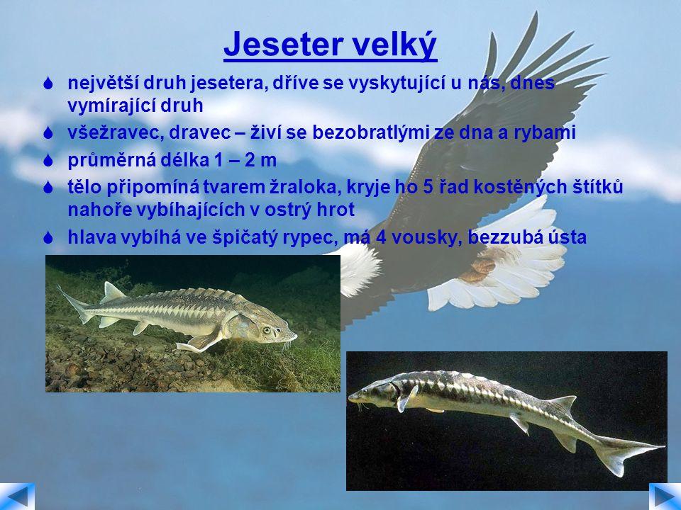 Jeseter velký největší druh jesetera, dříve se vyskytující u nás, dnes vymírající druh. všežravec, dravec – živí se bezobratlými ze dna a rybami.